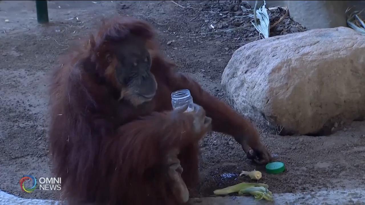多伦多动物园为紅毛猩猩筹款- Mar 05, 2021