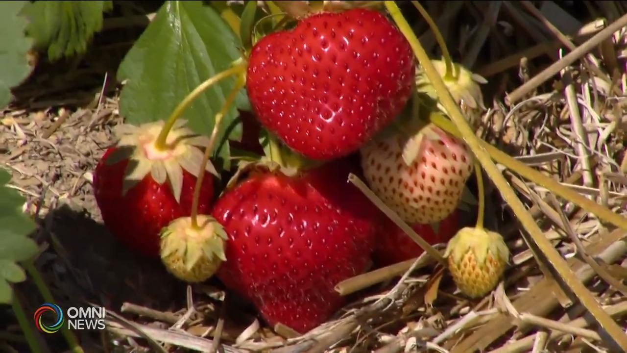 原住民看重草莓代表的意义- Jun 22, 2021