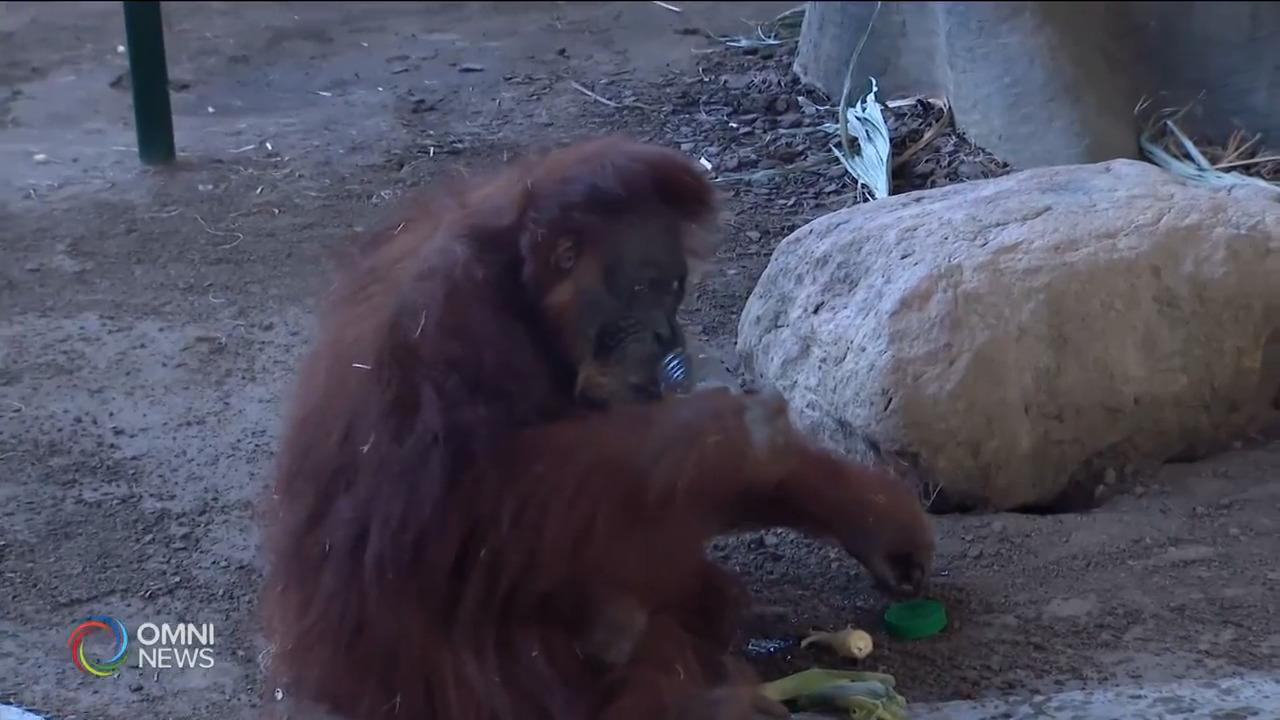 多倫多動物園全新猩猩戶外居所夏季完工 — Mar 05, 2021 (ON)