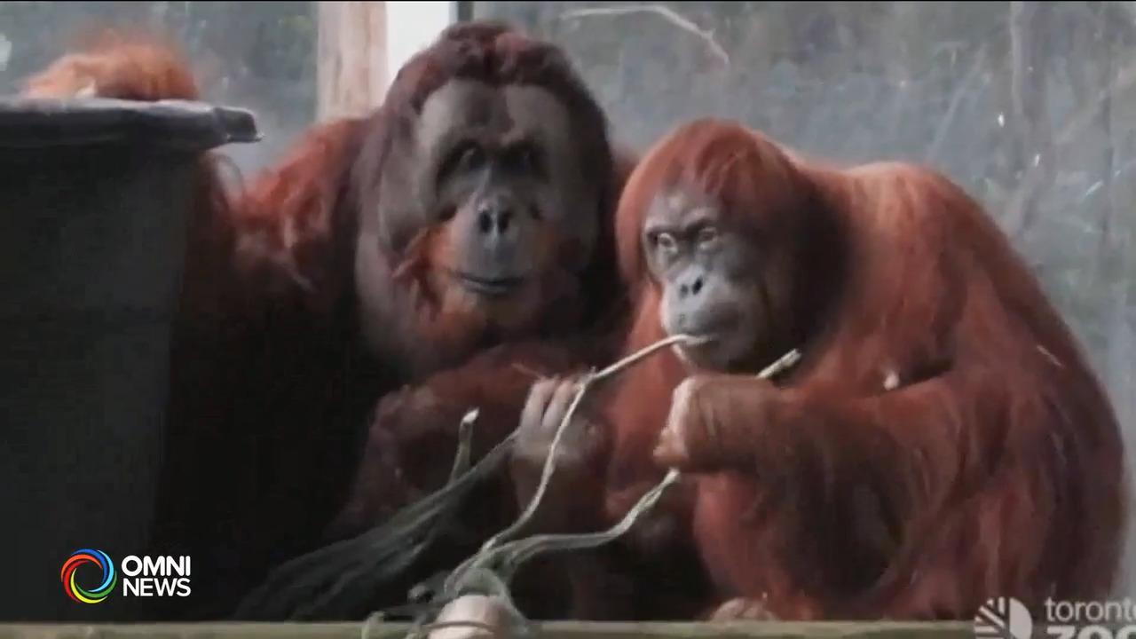 多伦多动物园濒临绝种猩猩证实怀孕 — Oct. 07, 2021 (ON)
